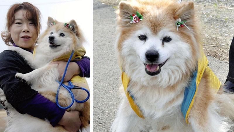 pusuke-shiba-inu-dog