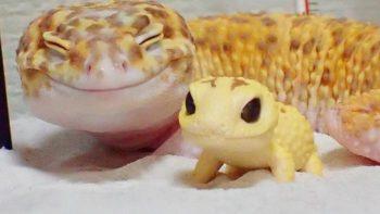 ชวนดูความน่ารักของ KOHAKU ตุ๊กแกที่หน้าตาแฮปปี้ที่สุดในโลก