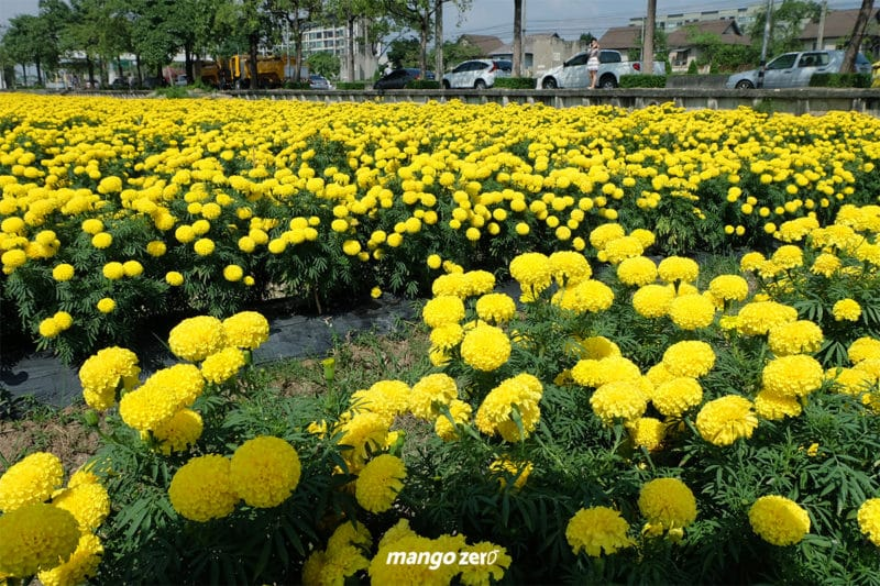 review-marigold-flower-field-at-Satriwitthaya-2-School-1