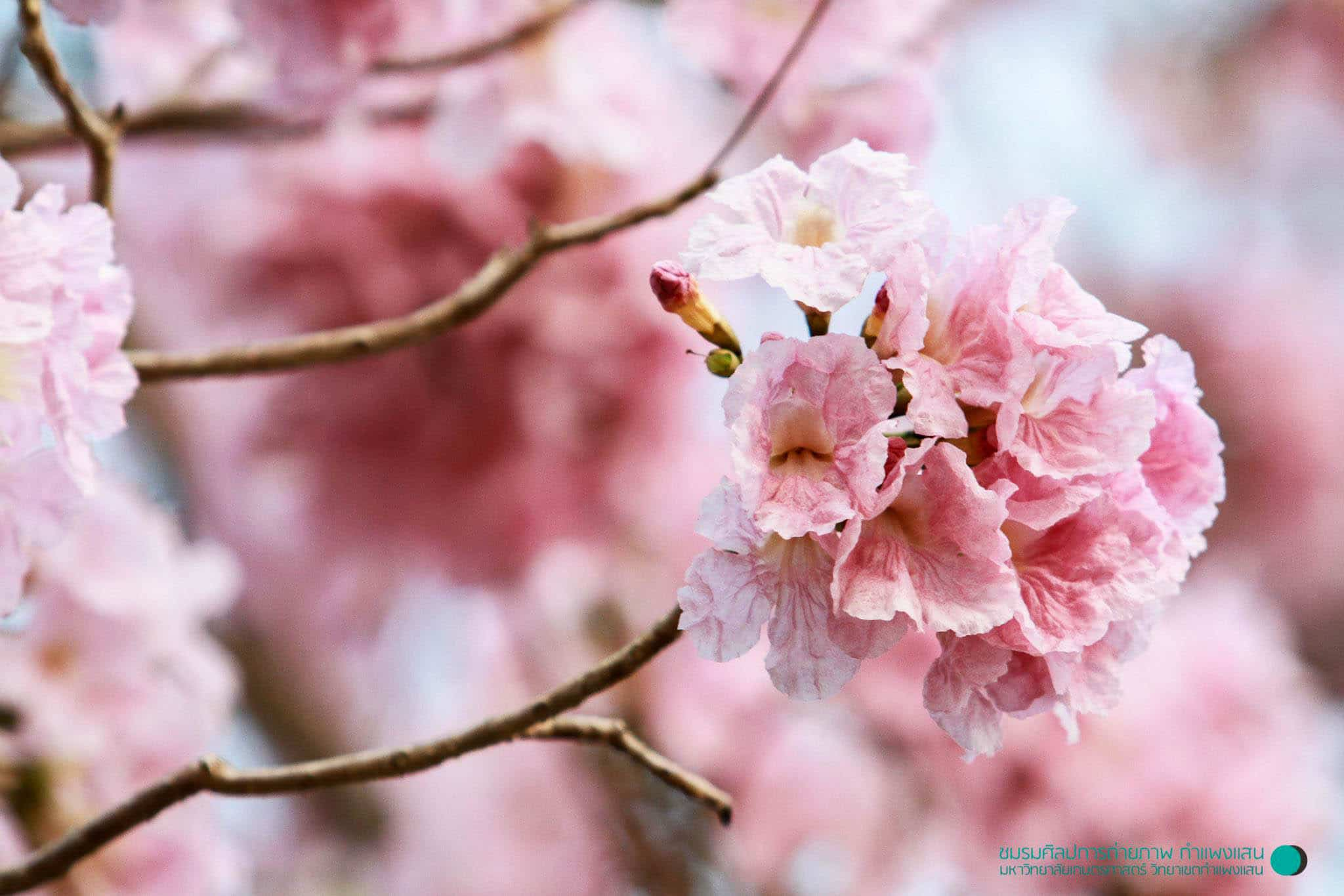 pink-trumpet-tree-forecast-pic-1