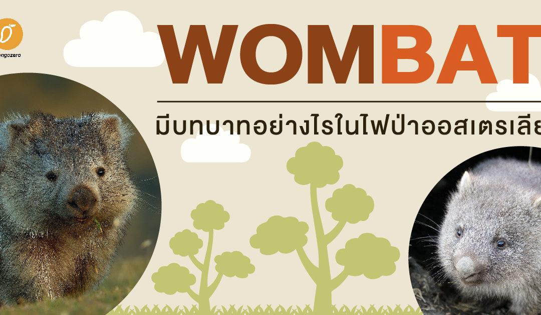 วอมแบต สัตว์โลกตัวกลม มีบทบาทอย่างไรในไฟป่าออสเตรเลีย