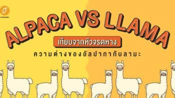 ALPACA VS LLAMA เทียบจากหัวจรดหาง ความต่างของอัลปากากับลามะ