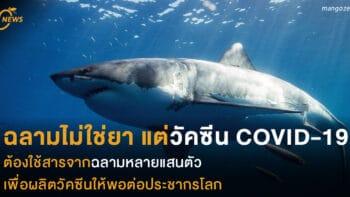 ฉลามไม่ใช่ยา แต่วัคซีน COVID-19ต้องใช้สารจากฉลามหลายแสนตัว เพื่อผลิตวัคซีนให้พอต่อประชากรโลก